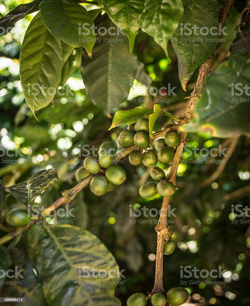 Coffee planting royalty-free stock photo