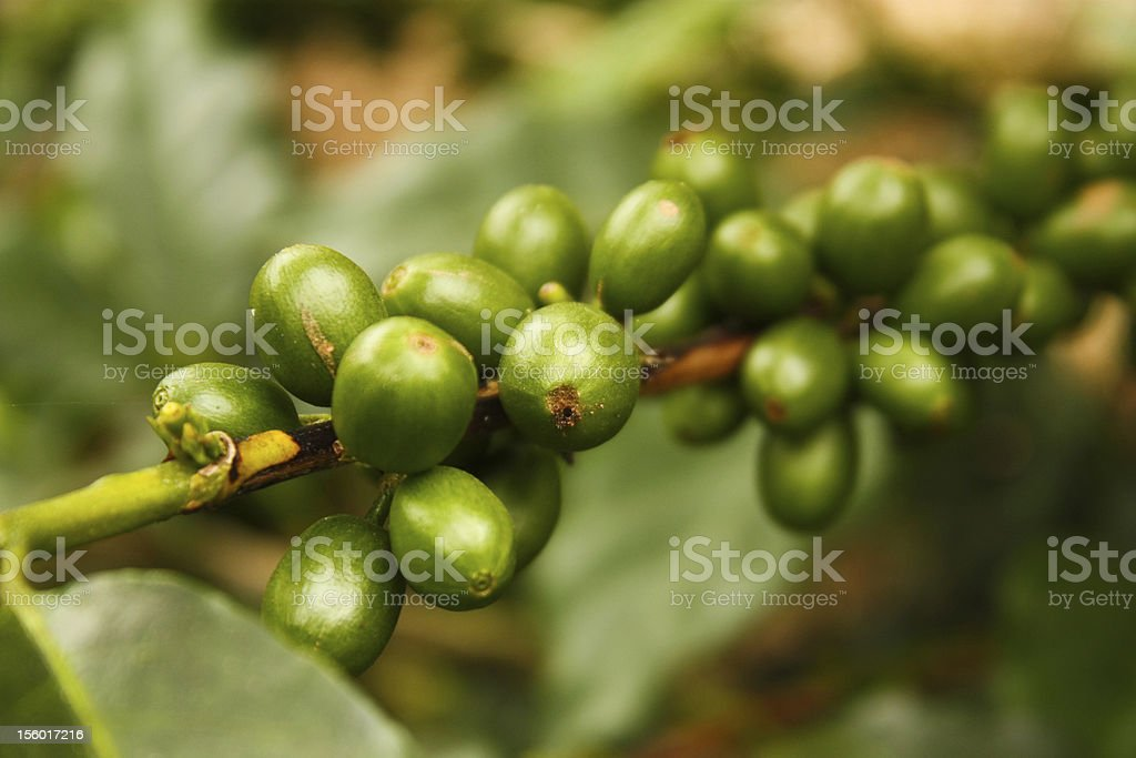 Coffee plants to mature. stock photo