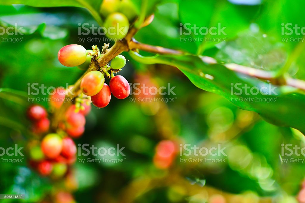 Coffee seeds on a coffee tree in Chiang rai, Thailand stock photo