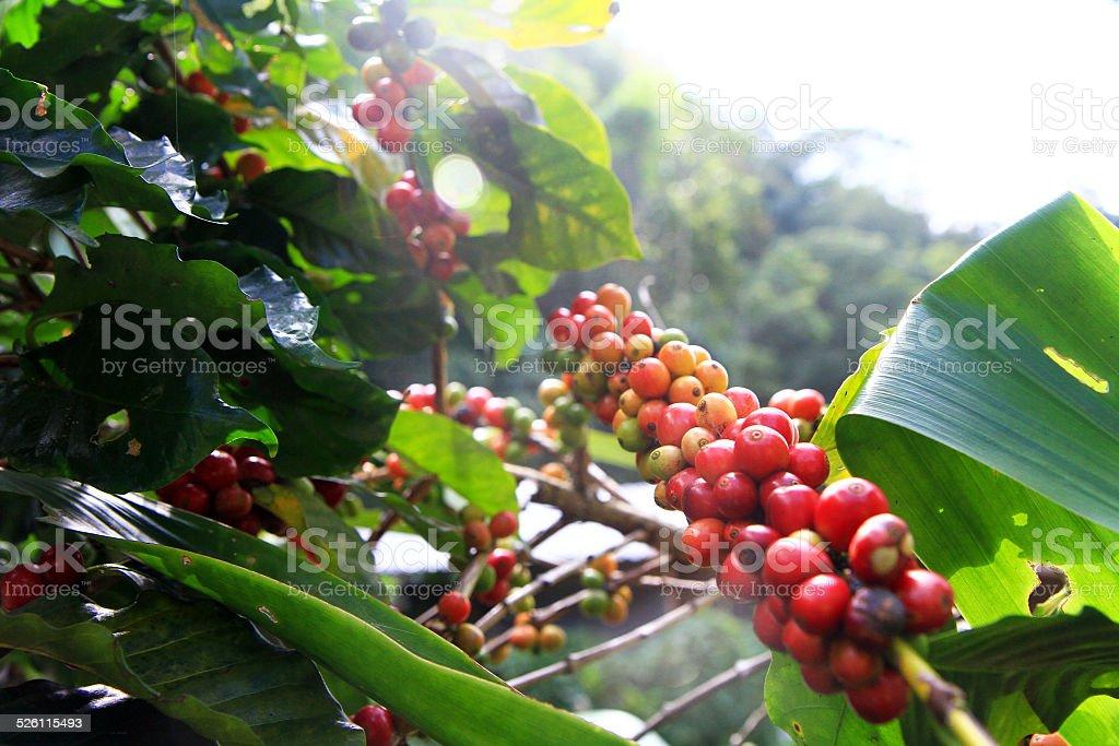 Coffee tree stock photo