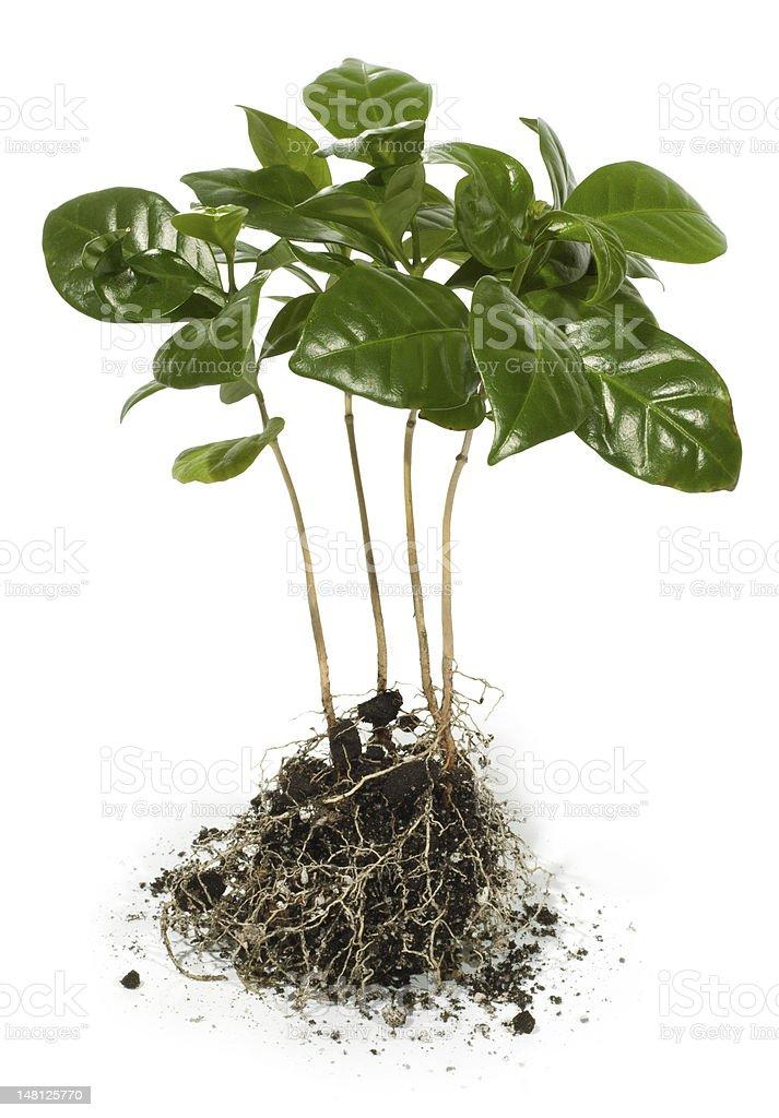 Coffee Tree seedlings stock photo