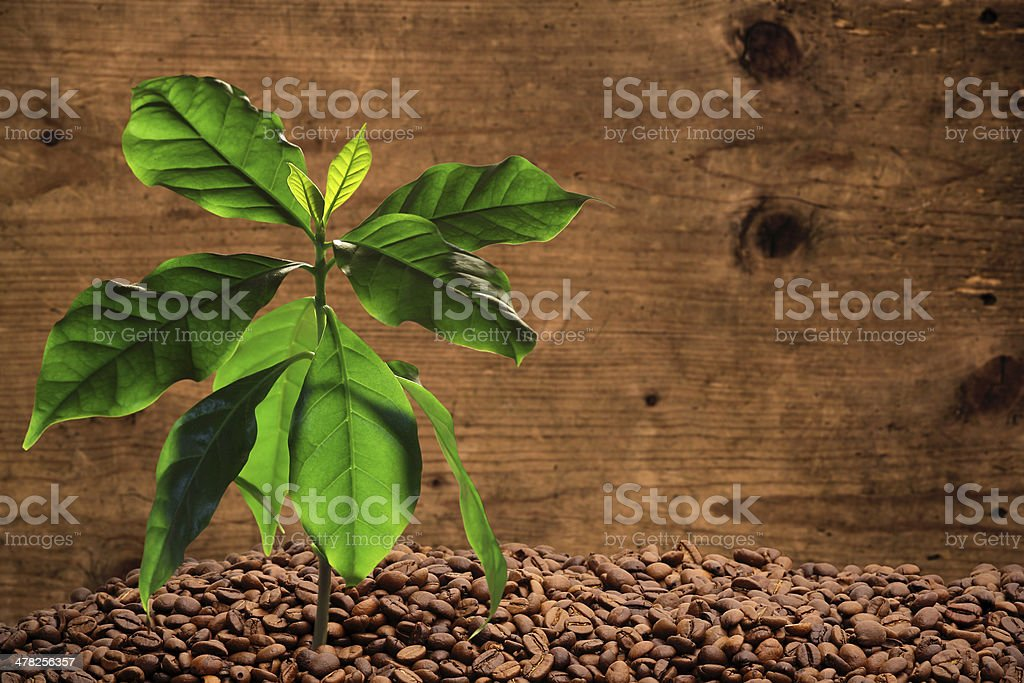Coffee tree with coffee beans stock photo