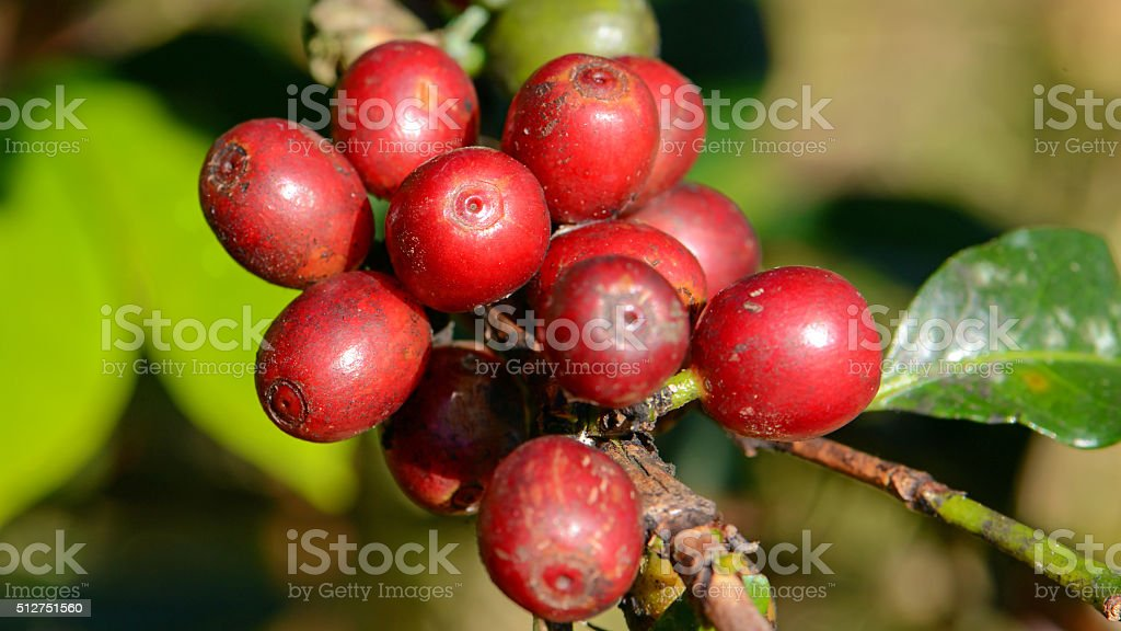 Coffee tree with coffee cherry in plantation field. stock photo