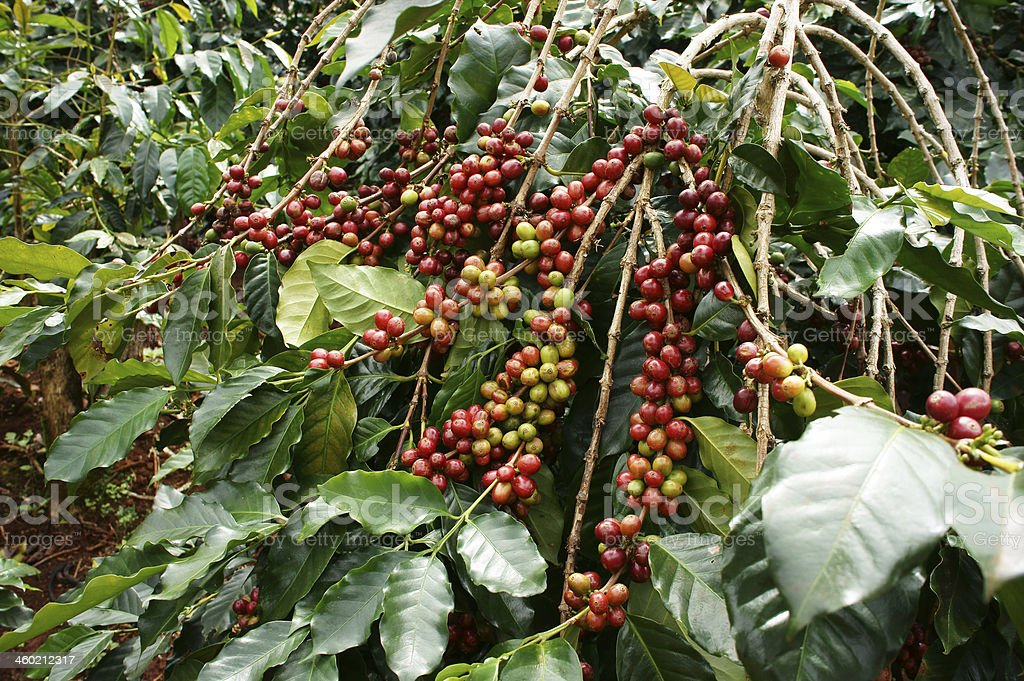 Coffee tree with red bean stock photo
