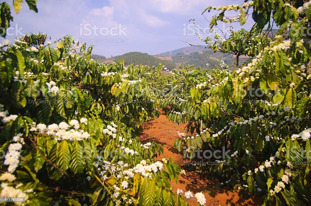 Coffee trees stock photo