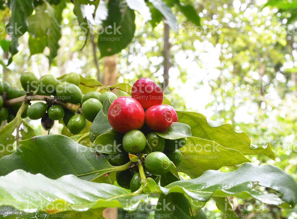 coffees beans on coffee tree. stock photo