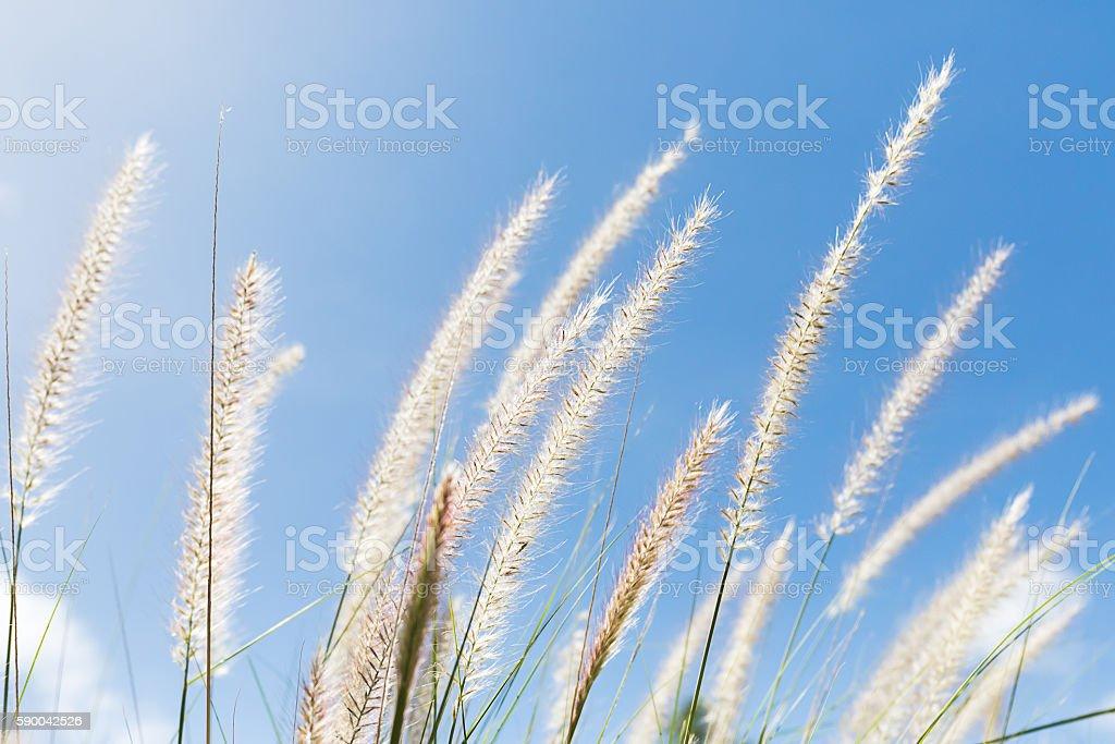 Cogon Grass on blue sky background stock photo