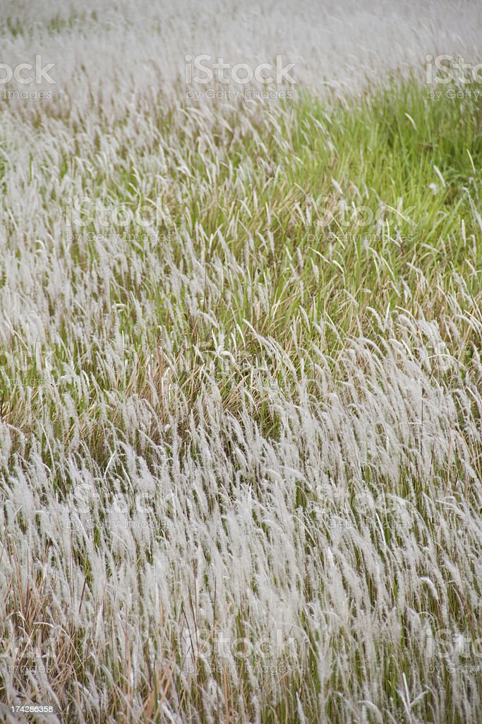 Cogon grass, Alang-alang, Lalang or  Imperata cylindrica royalty-free stock photo
