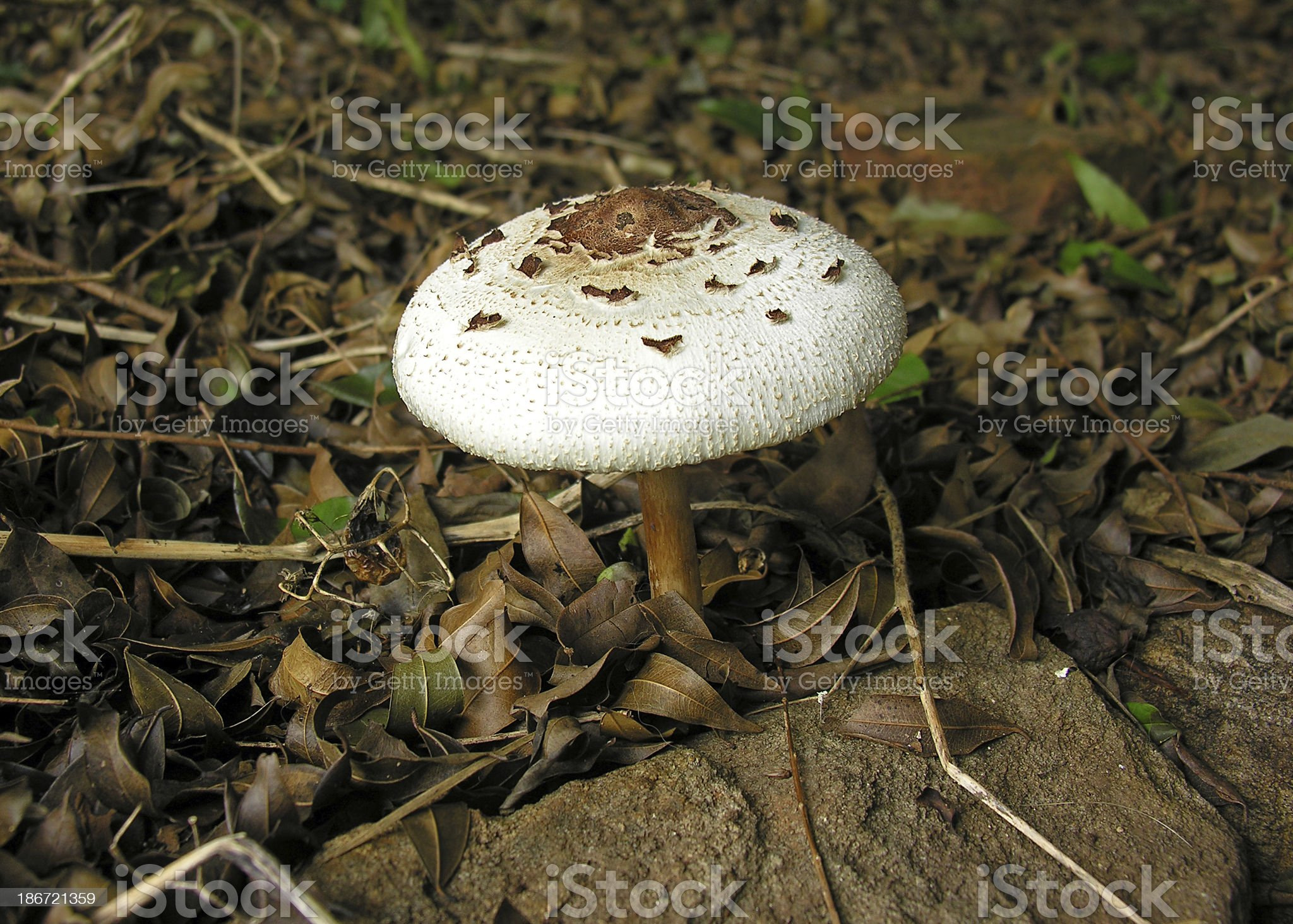 Cogumelos Selvagens,Venenosos royalty-free stock photo