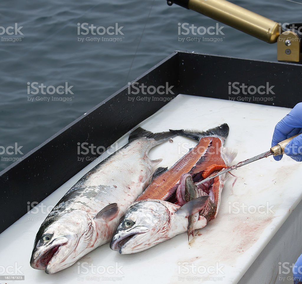 coho salmon get filleted royalty-free stock photo