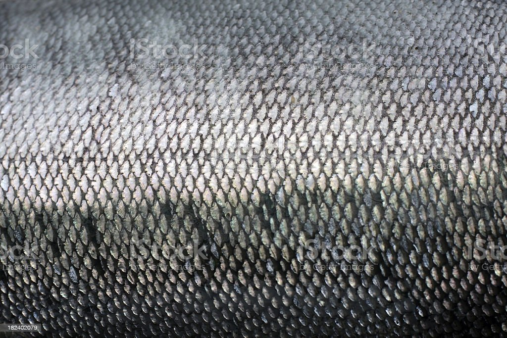 Coho Salmon Macro stock photo