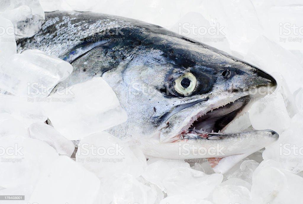 Coho Salmon on Ice stock photo