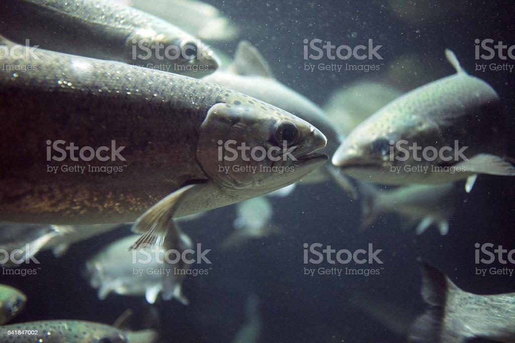 Coho Salmon stock photo