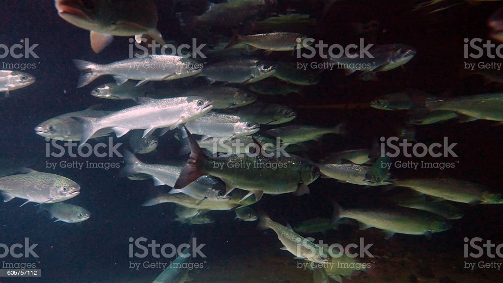 Coho salmon stock photo