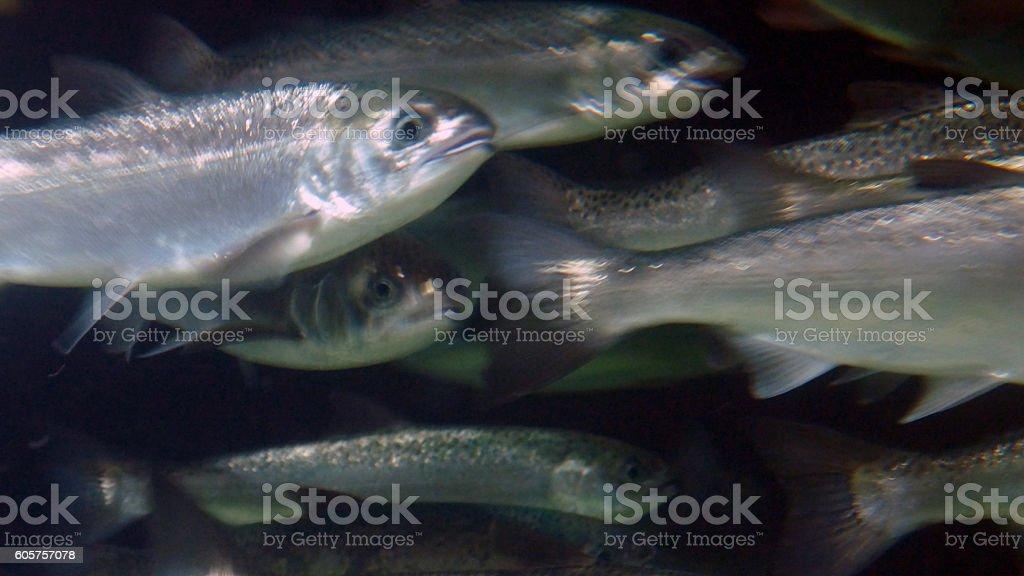 Coho Salmon Run stock photo
