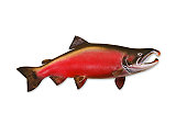 Coho Salmon with Clipping Path