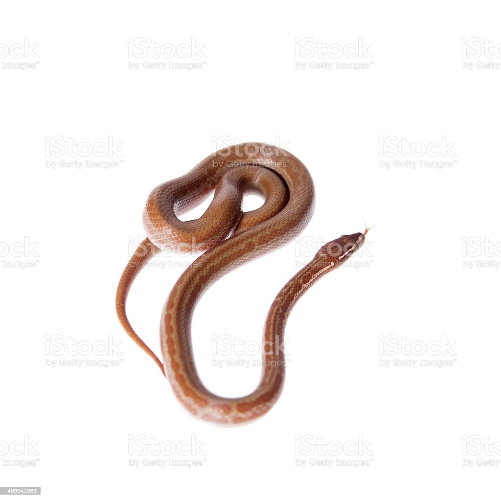 Coiled Cape House Snake on white background stock photo