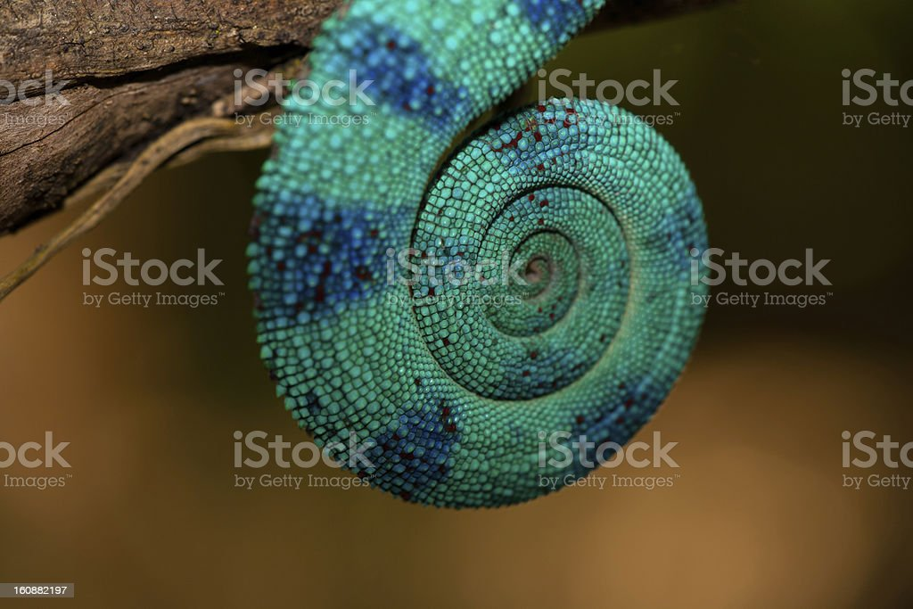Coiled Chameleon tail stock photo