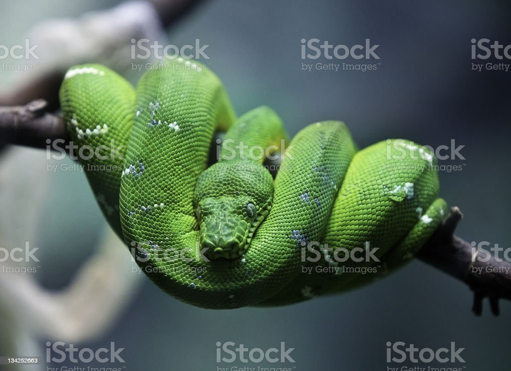 Coiled Green Snake royalty-free stock photo