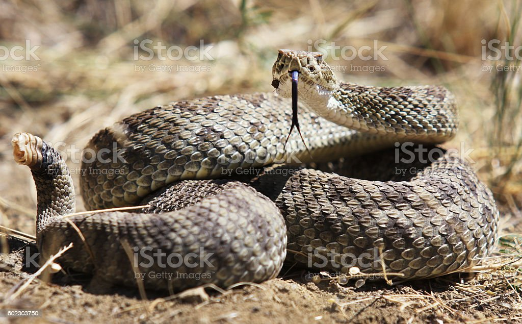 Coiled Rattlesnake stock photo