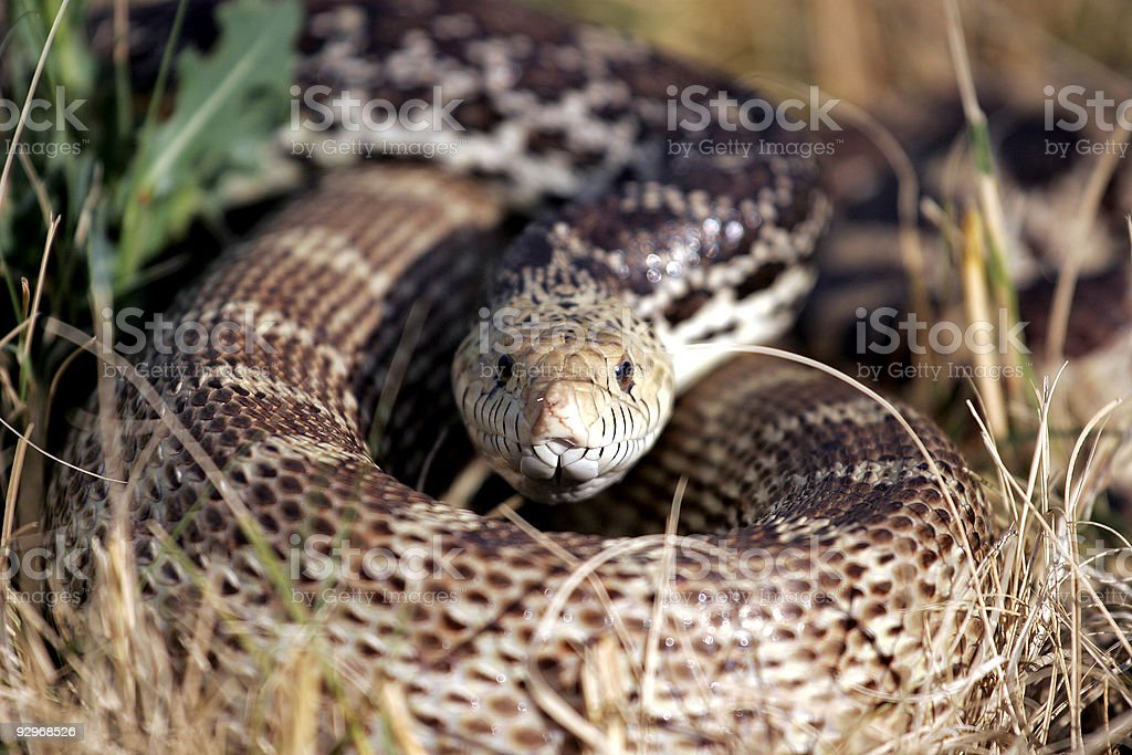 Coiled Snake in the Grass (natural habitat) stock photo