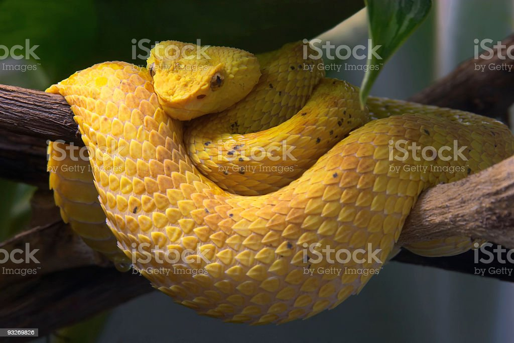 Coiled Snake (Viper) stock photo