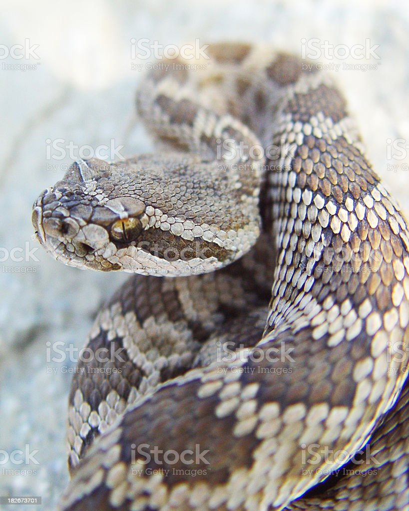 A coiled up baby rattlesnake on a stone floor stock photo