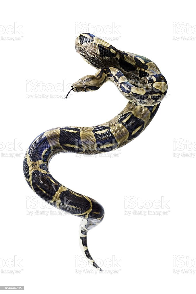 A coiling Boa constrictor snake stock photo