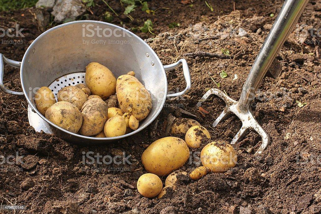 Colander and fresh potatoes harvest stock photo