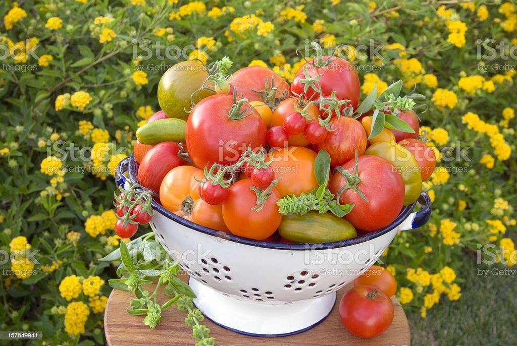 Colander & Organic Homegrown Summer Garden Produce, Heirloom Tomatoes Vegetable Harvest stock photo