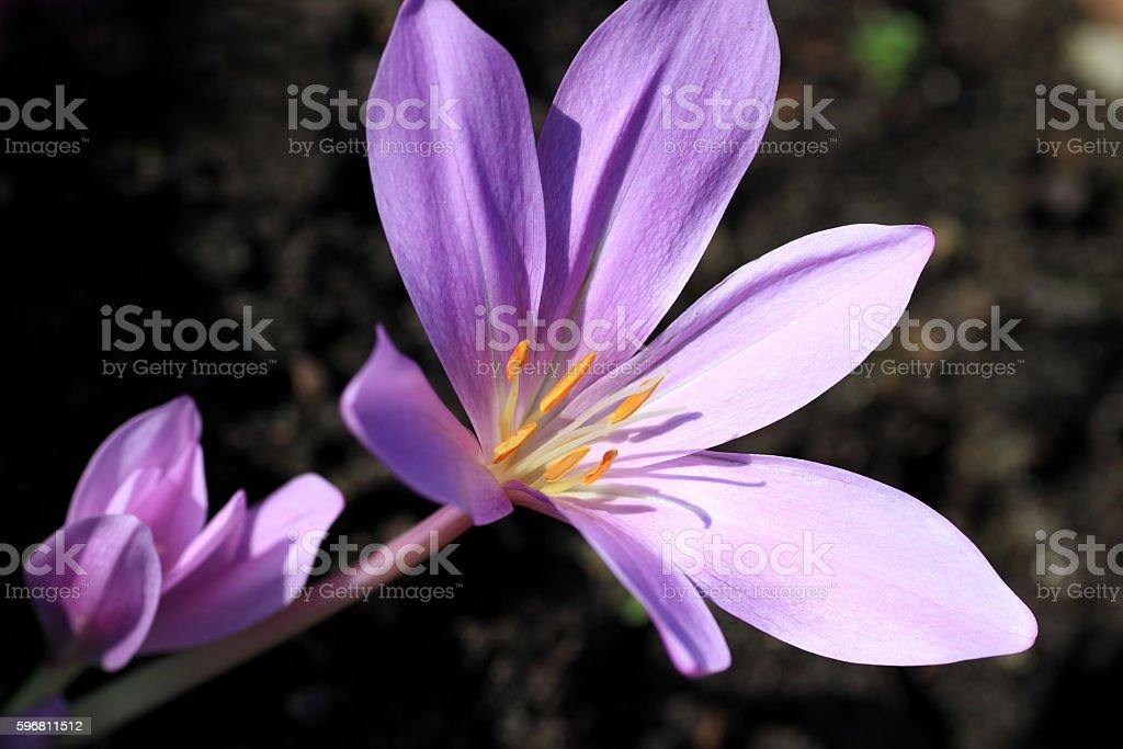 Colchicum autumnale flowers stock photo