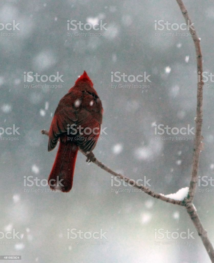 Cold Cardiinal stock photo