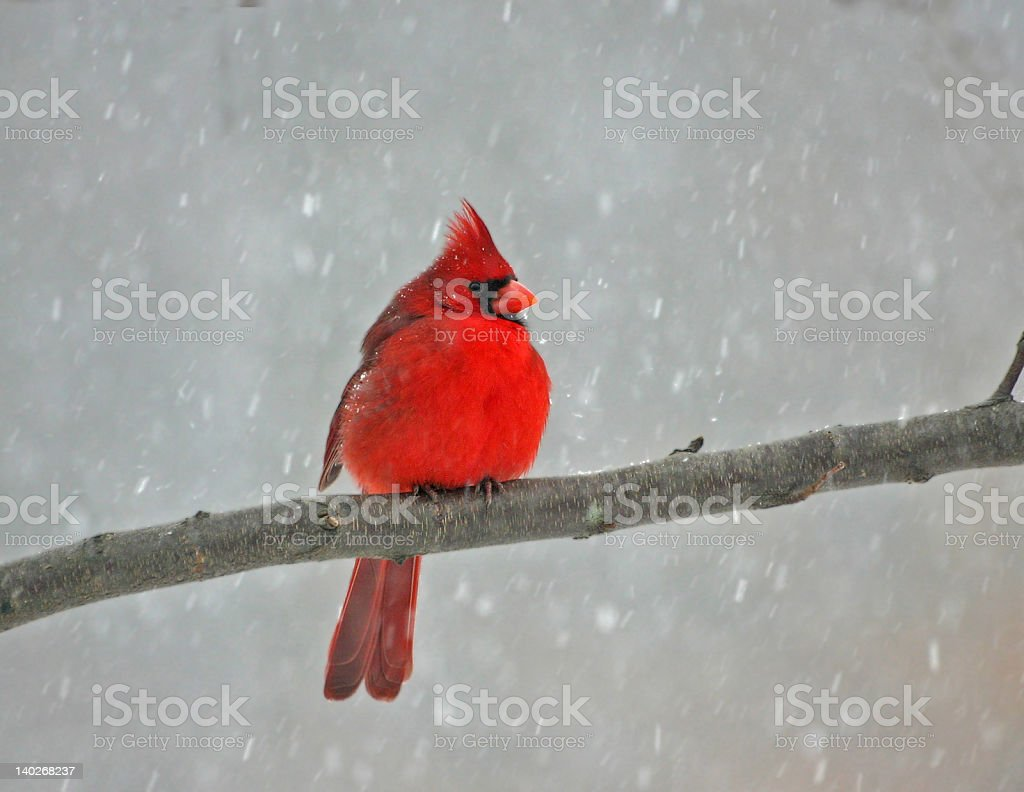 cold cardinal royalty-free stock photo
