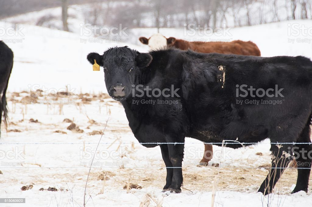 Cold Cows stock photo