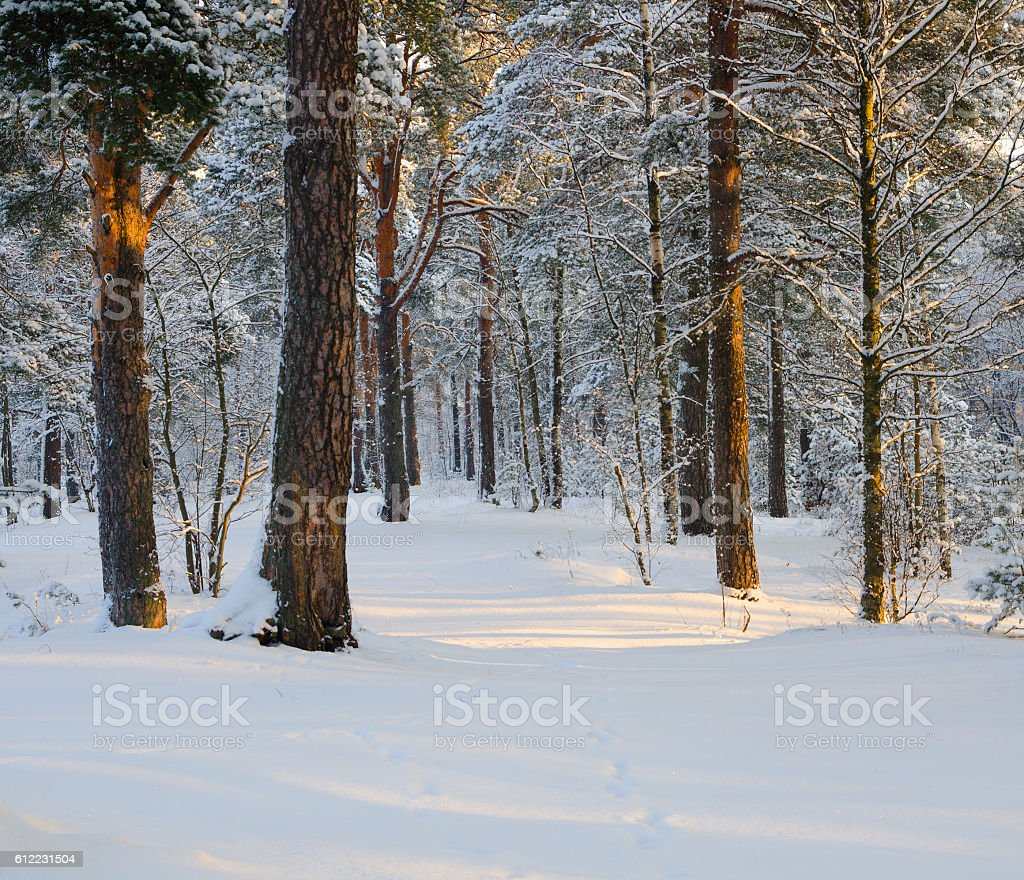 Cold day in the winter forest stock photo