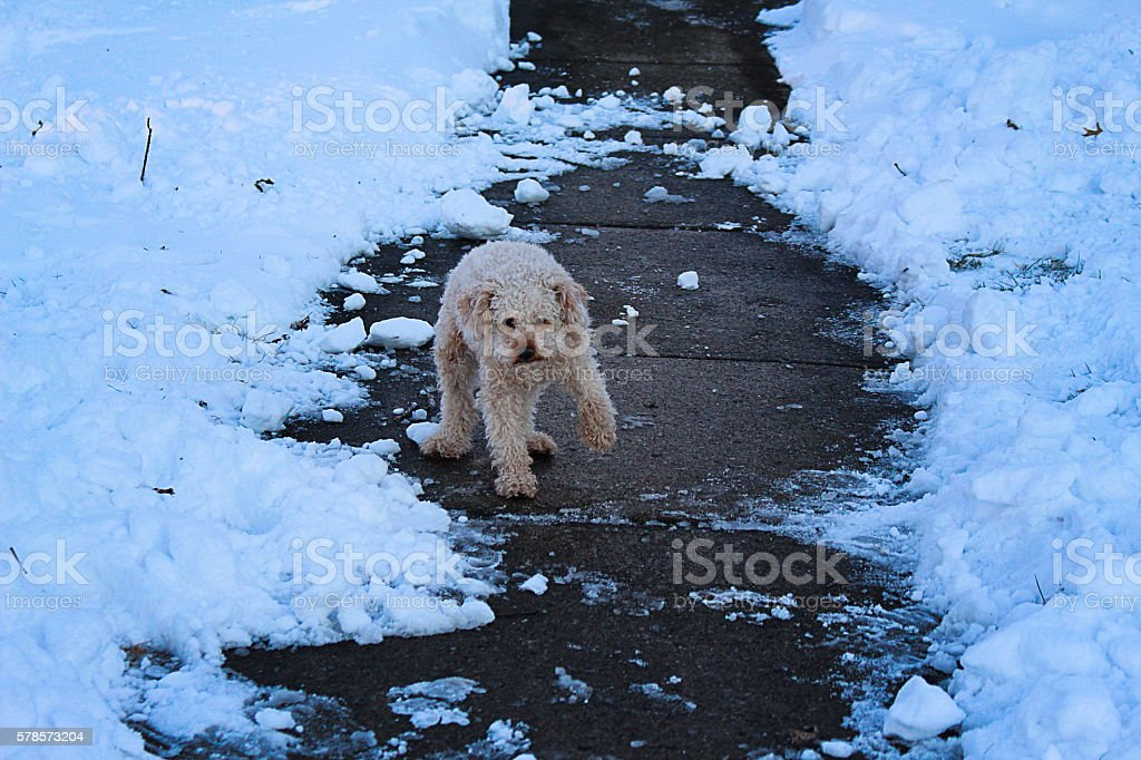 Cold Poodle royalty-free stock photo