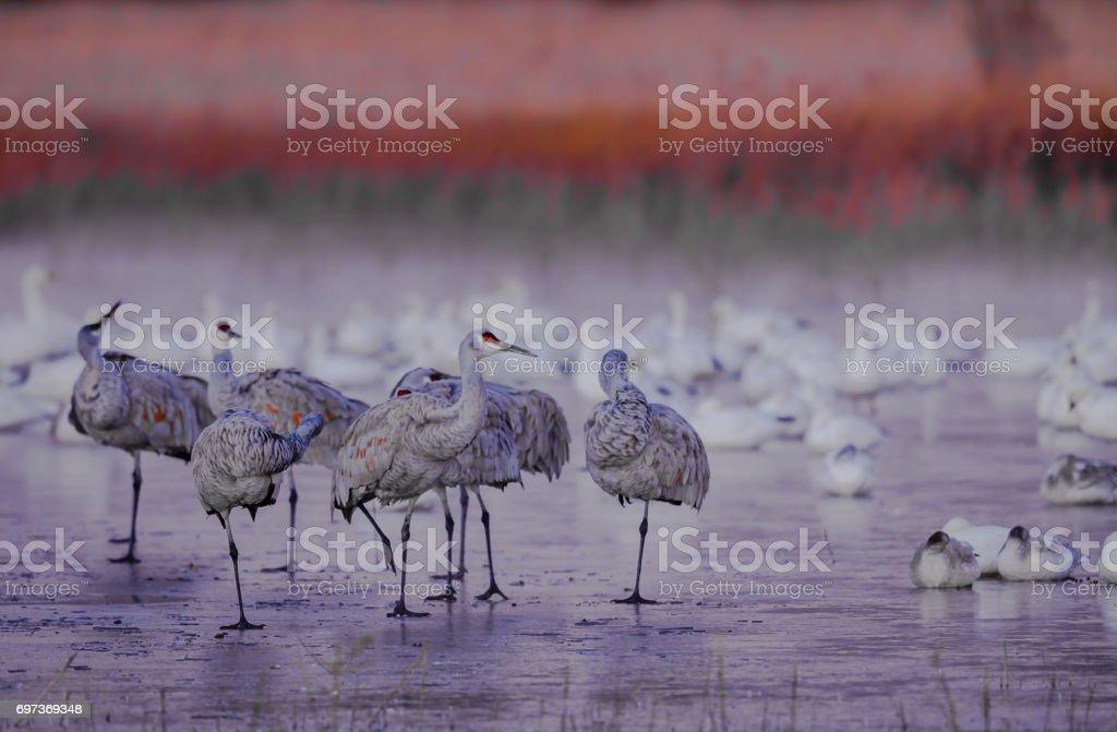 Cold sandhill cranes stand on ice ponds in Bosque del Apache stock photo