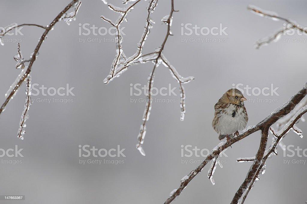 Cold Sparrow royalty-free stock photo