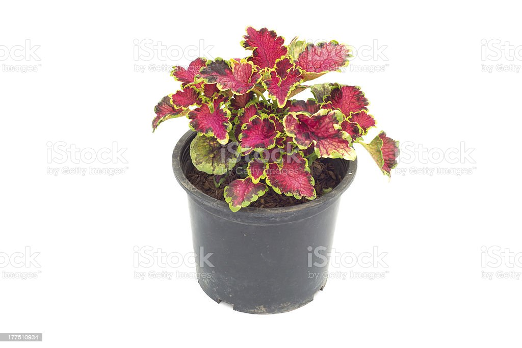 Coleus in a pot royalty-free stock photo
