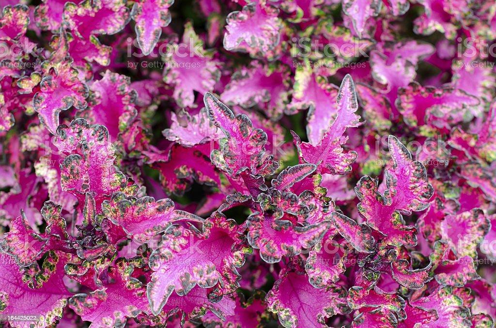 Coleus leaf background royalty-free stock photo