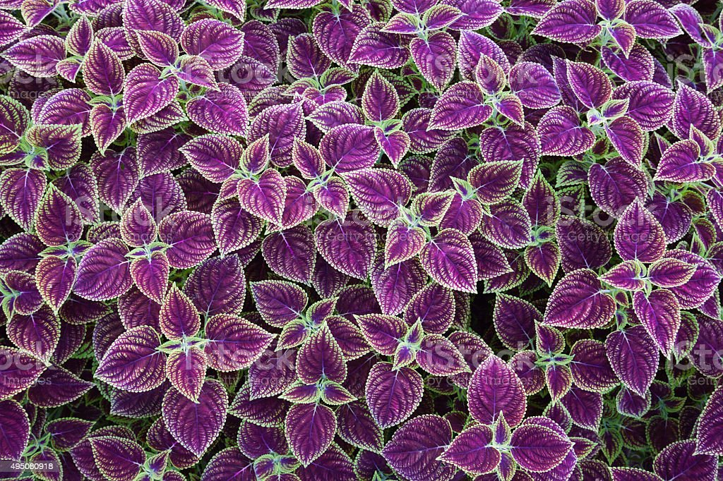 Coleus leaf background stock photo