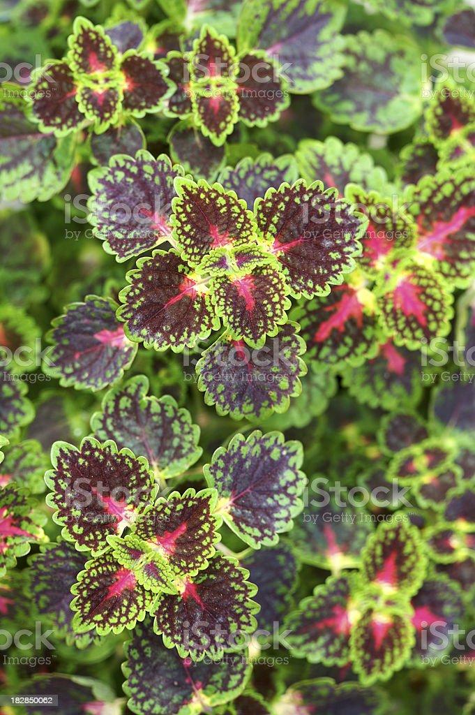 Coleus leaf composition royalty-free stock photo