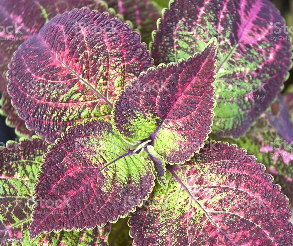 Coleus Plant Macro royalty-free stock photo