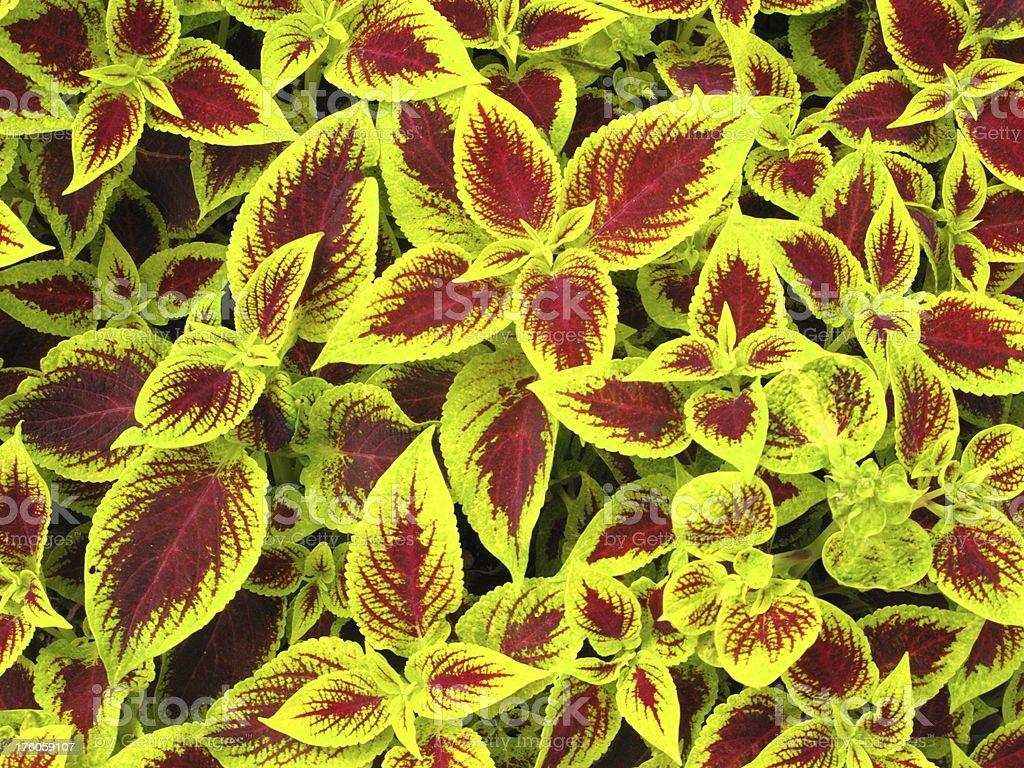 Coleus Versa Crimson Gold Plant stock photo