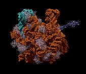 E. Coli Bacterial Ribosome
