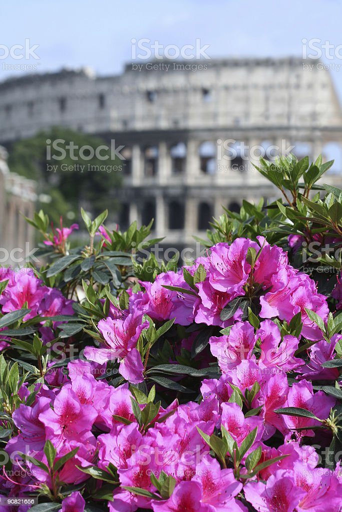Coliseum and pink Azalea, Rome Italy royalty-free stock photo