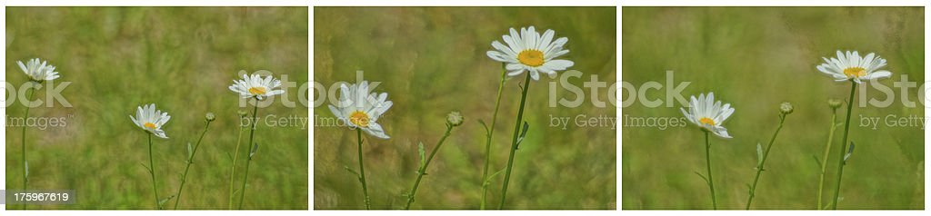 Collage of artistic paint daisies flowers royalty-free stock photo