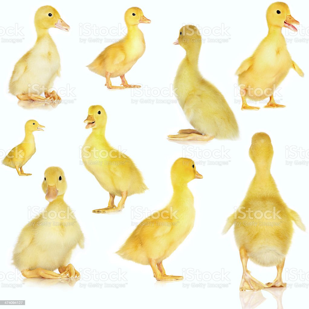 Collage of cute baby ducklings on white stock photo