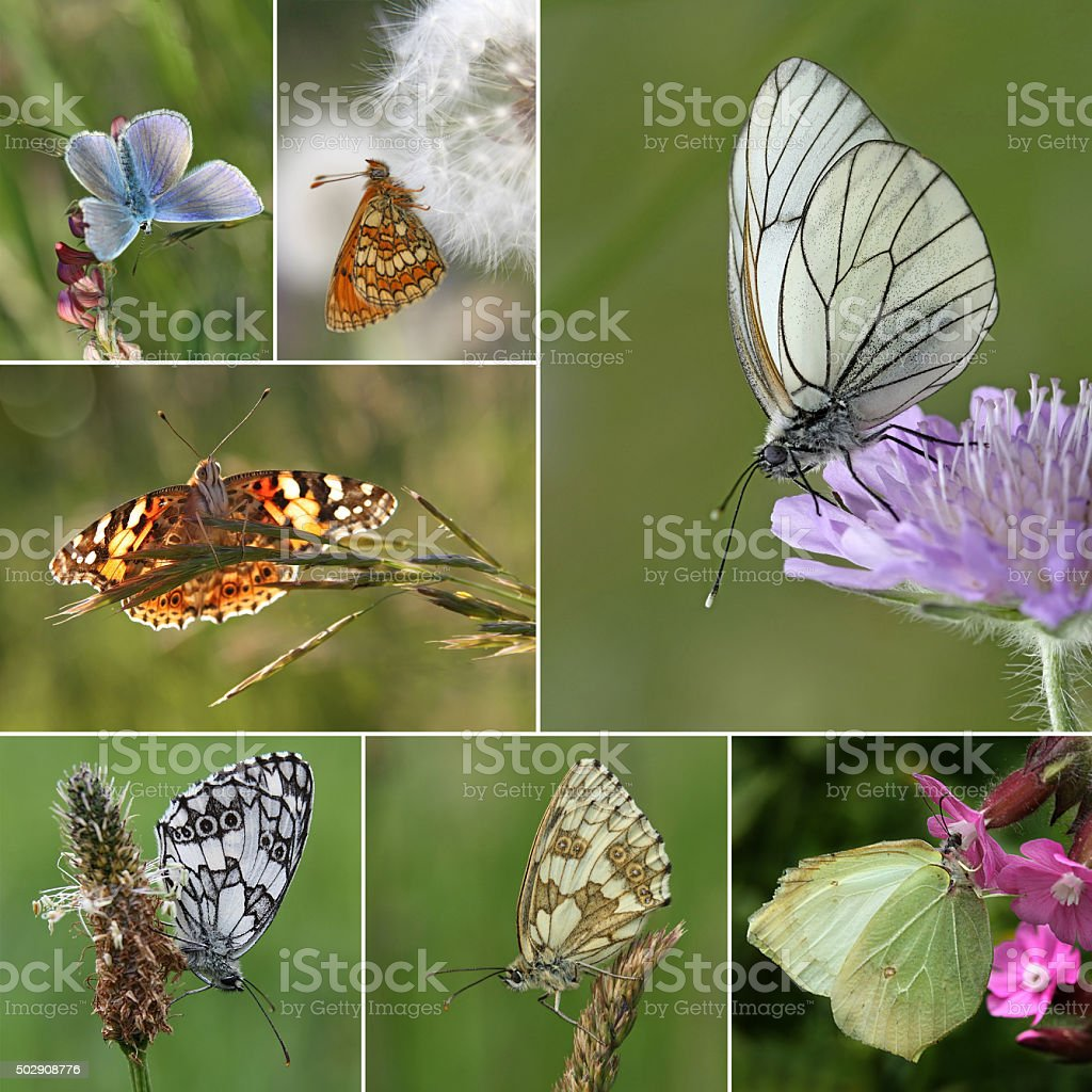 Collage of European butterfly species stock photo