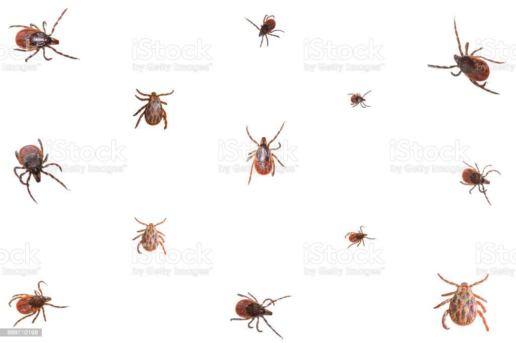 Collage of ixodid ticks stock photo